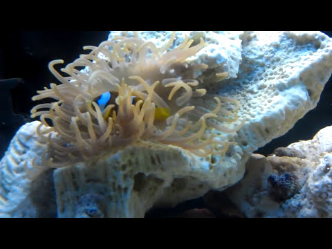 Long Tentacle Anemone Care Guide