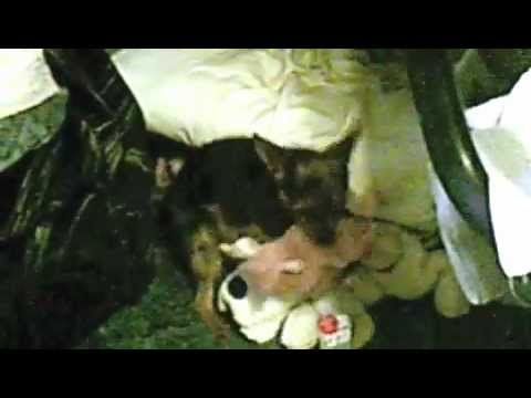 Small Dog Has Sex With His Toys For 7 Minutes.m4v video