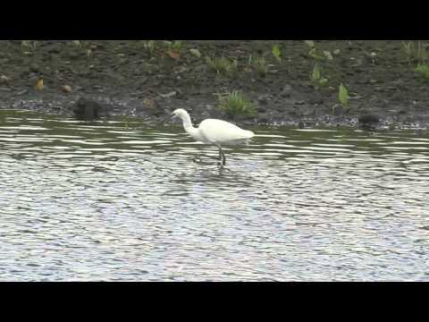 little egret at montrose basin