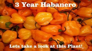 ⟹ 3 year old Habanero Pepper Plant, Walmart seeds 20 cent 🔱 #pepper