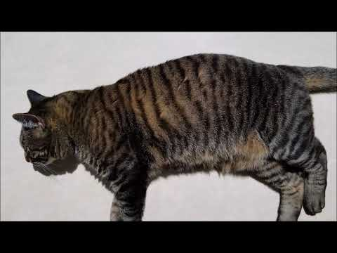 Feline Observational  - The Stripe Pattern on a Domestic Short Hair Tabby Cat