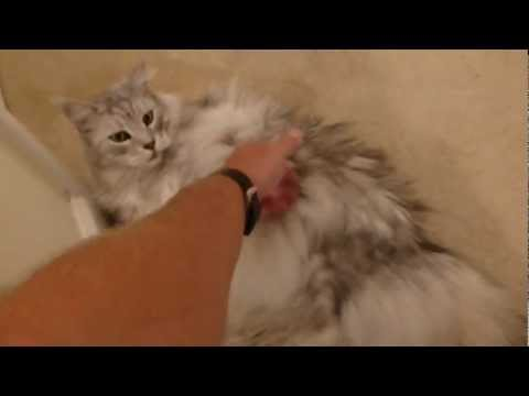 Maine Coon Cat Talking