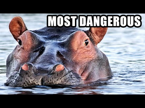 Hippos: Africa's Most Dangerous Animal? Weird Hippopotamus Fun Facts