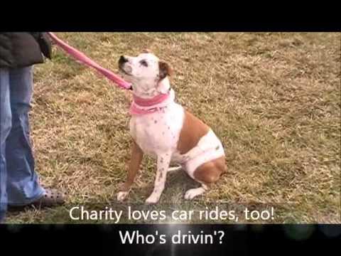 Blue Heeler Dog Rescue