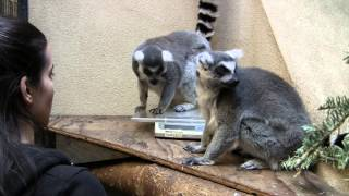 Ring-Tailed Lemurs Scale Training