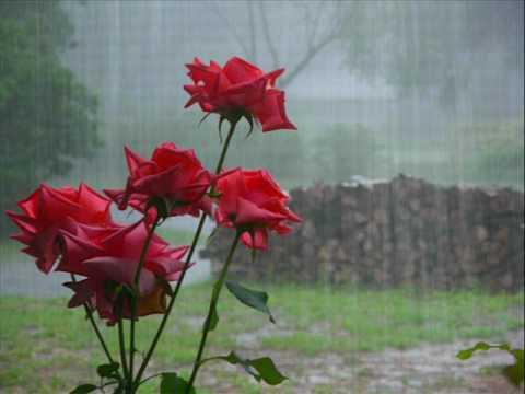 Клас - Рози в дъжда