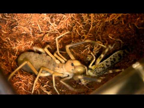 Camel spider feeding - Adult locust!