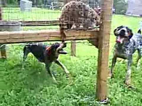 Coon Hunting. Blueticks barking at a cage coon. Video