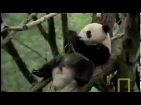 Osos pandas en peligro de extinción!! No al cautiverio!!