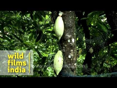 Cocoa plantation in India