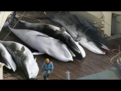 Japan Plans to Continue Killing Whales… for Research?