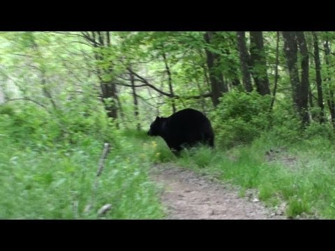 Black Bear Encounter 2013