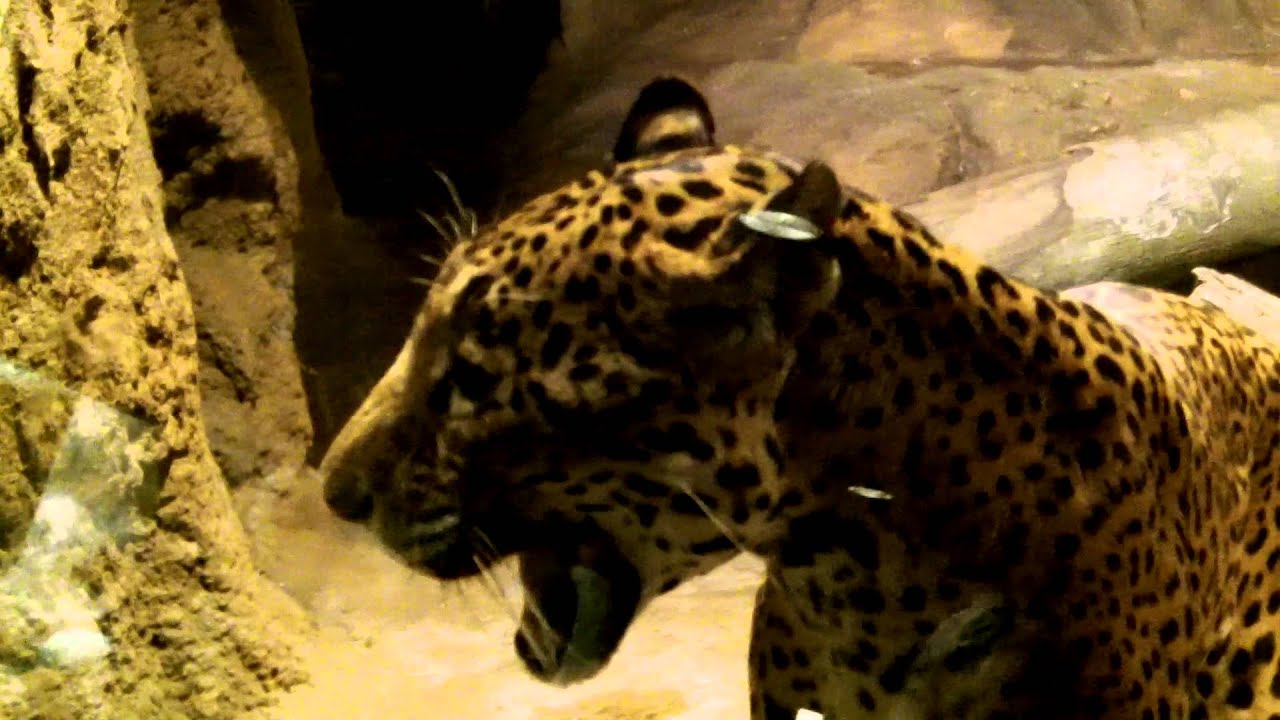 Growling jaguar