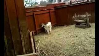 Download Goat war.mp4 3Gp Mp4