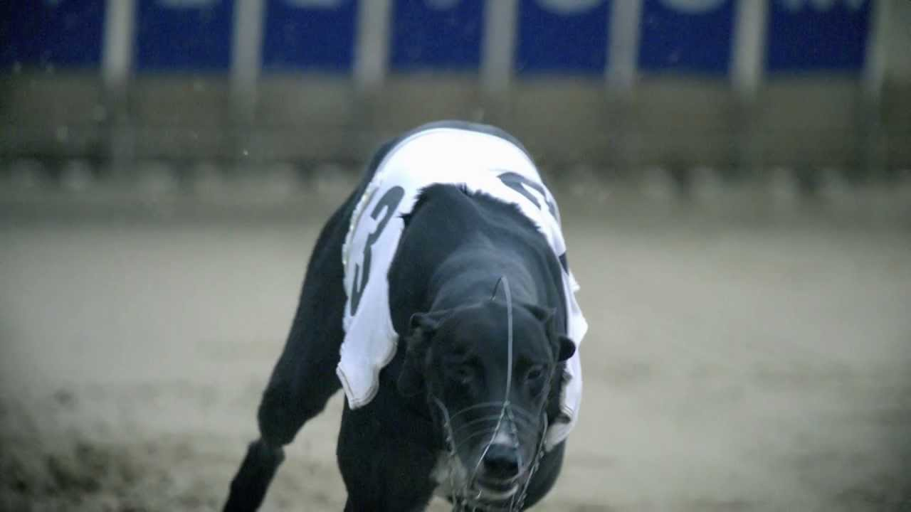 greyhounds in motion youtube