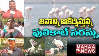 Special Story on Pulicat Lake | Flamingo Birds Festival Begins