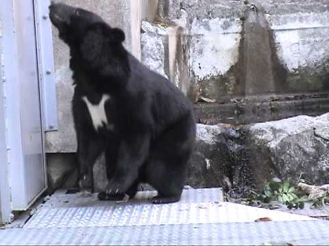 熊(クマ)の語源はその鳴き声から