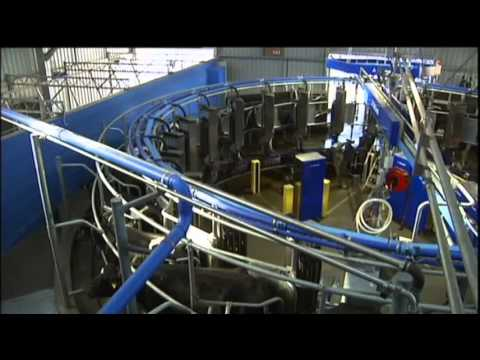 Aussie Cows Milked With Robotic Technology