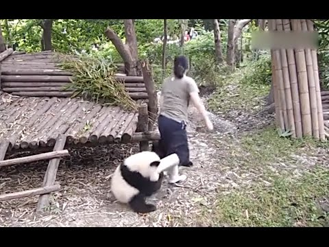 Clingy panda do not let zookeeper go
