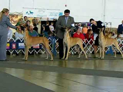 Dallas Great Danes dog show