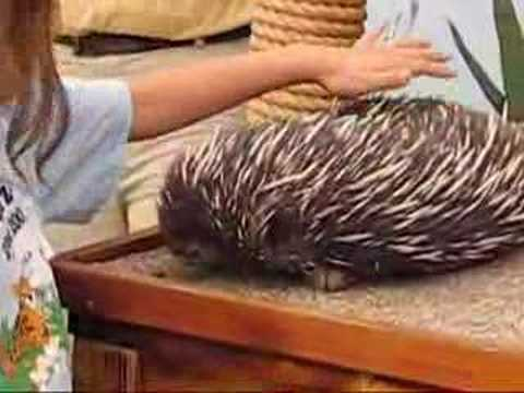 Echidna - Dingos Are Hungry