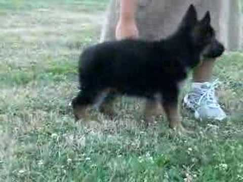 Puppy obedience training at Central PA Schutzhund Club