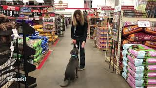 1.5 yo Pitbull (Radar) Best Dog Trainers in VA