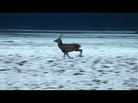 Slow Motion Night Footage of Adult Male Deer Running
