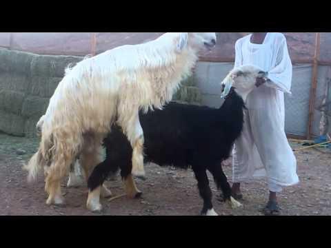 خروف عيسيى1-4