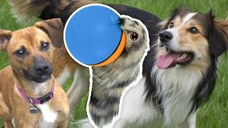 Two Dogs meet a Weasel Ball (Dogs vs. Weasel Ball Toy)
