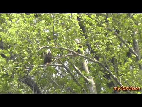 Bald Eagles at Duke Farms ~ May 16 2013 ( in HD )