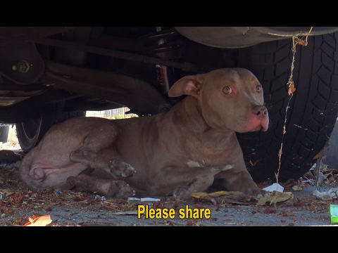 Stray Pit Bull gets hit by a car.  Luckily, someone called Hope For Paws to help.