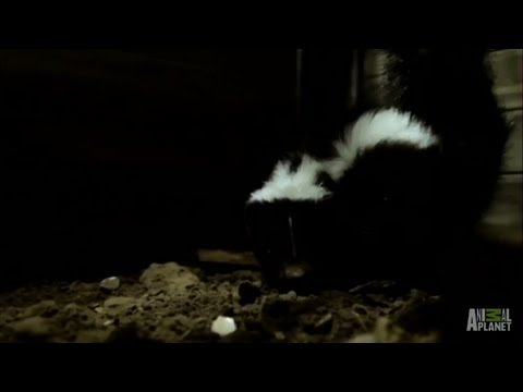 Skunk House | Infested!