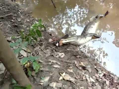 Eel Electric vs Crocodile ▶ Electric Eel Kills The
