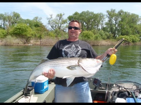 40-Pound Striped Bass (caught & released)