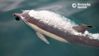 Superpod Of Common Dolphins In Monterey Bay