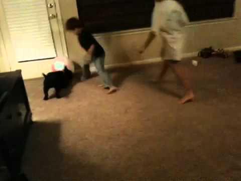 Scottish terrier plays ball