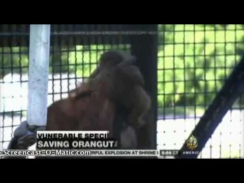 Al Jazeera America Reporting on LEOZCC's First-Ever Successful ART Orangutan Birth