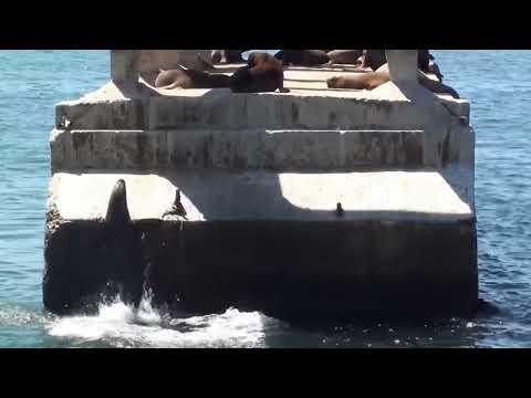Lobos marinos de Valparaíso, chile.  Valparaiso's Seals