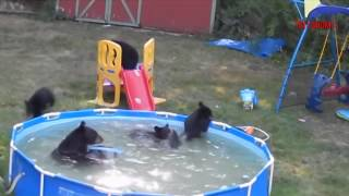 ✔ Bears taking a dip in someone