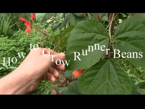 How to grow organic runner beans + A cool tip not many people know about / Vegetable garden diy