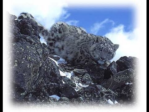 THE SNOWLEOPARD - the illegal trade /hidden cameras...www.wildlifefilm.com