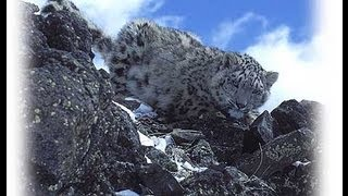 THE LAST SNOWLEOPARD - the illegal trade /hidden cameras...www.wildlifefilm.com