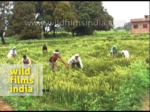 Unseasonal rains have destroyed over 10 lakh hectares of standing crop