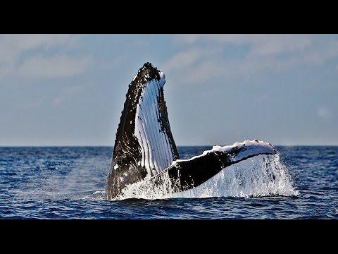 Baleia Jubarte Brasil. Humpback Whale. Ballena Jorobada.