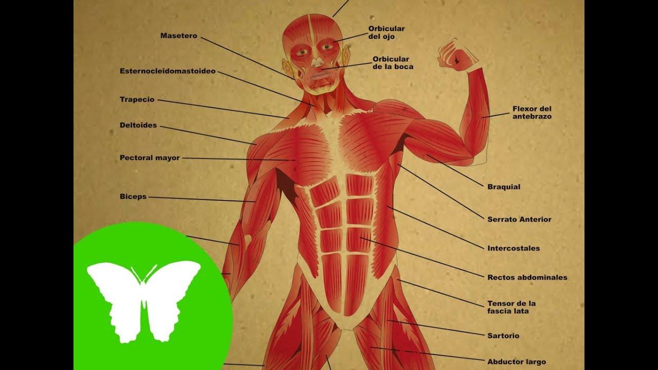 La eduteca los m sculos youtube for Interior del cuerpo humano