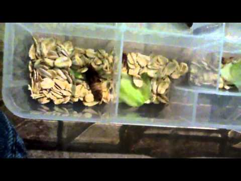 Breeding mealworms, superworms, waxworms