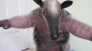Thú ăn kiến và chú kangaroo bé bỏng