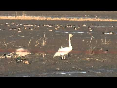 Trumpeter Swans sing out on Delta farm field, BC