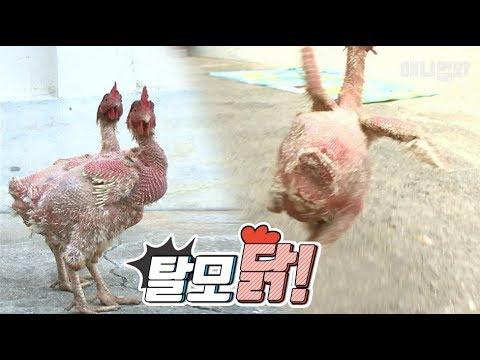 남 일 같지 않은 일 ㅣ *SHOCKING! Mysterious Chickens With Hair Loss*